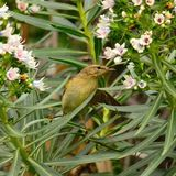 Bird common chiffchaff amidst echium flowers Royalty Free Stock Photography