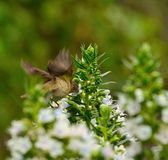 Bird common chiffchaff in flight eating echium flowers Stock Photos