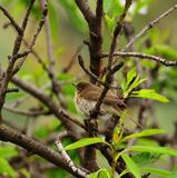 Bird common chiffchaff among tree branches Stock Photography