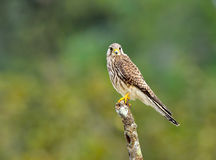 Bird (Common Kestrel) , Thailand Stock Images