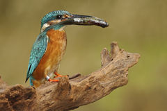 Bird Common Kingfisher with fish in bill Royalty Free Stock Image