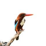 Bird (Common Kingfisher) isolated on white background Stock Photo