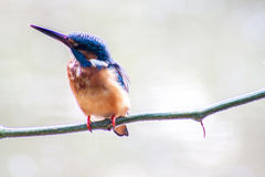 Bird Common Kingfisher male (Alcedo atthis) sitting on a branch Stock Photography
