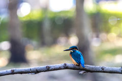 Bird common Kingfisher (Alcedo atthis) a beautiful color Stock Photos