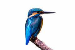 Bird common Kingfisher (Alcedo atthis) a beautiful color Stock Image