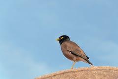Bird Common Myna Stock Photo