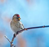 Bird common redpoll Royalty Free Stock Photos