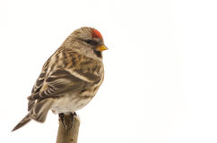Bird Common Redpoll (Carduelis flammea) Royalty Free Stock Images