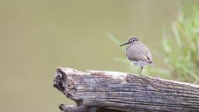 Bird: Common Sandpiper Stock Image