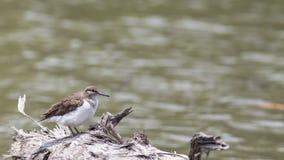Bird: Common Sandpiper Royalty Free Stock Photos