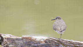 Bird: Common Sandpiper Stock Images