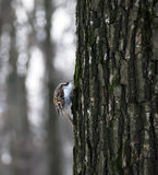 Bird Common Treecreeper at tree climbing up Royalty Free Stock Image