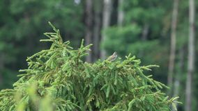 Bird common whitethroat /sylvia communis/ sits on the fir branch and sings.  stock video footage