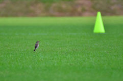 The Bird and The Cone. Bird on the pitch just look like that cone Royalty Free Stock Photos