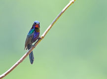 Bird (Copper-throated Sunbird) , Thailand Stock Photo