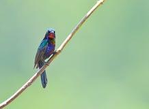 Bird (Copper-throated Sunbird) , Thailand. Bird (Copper-throated Sunbird) in green nature , Thailand Stock Photo
