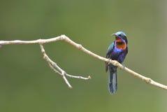 Bird (Copper-throated Sunbird) , Thailand. Bird (Copper-throated Sunbird) in nature , Thailand Stock Image