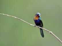Bird (Copper-throated Sunbird) , Thailand. Bird (Copper-throated Sunbird) in nature , Thailand royalty free stock image