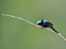 Bird (Copper-throated Sunbird) , Thailand Stock Images