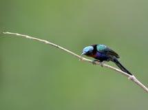 Bird (Copper-throated Sunbird) , Thailand. Bird (Copper-throated Sunbird) in nature , Thailand Stock Images