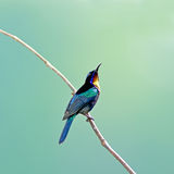 Bird (Copper-throated Sunbird) , Thailand Stock Photos