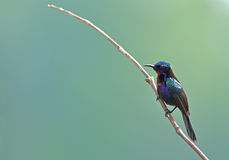 Bird (Copper-throated Sunbird) , Thailand. Bird (Copper-throated Sunbird) in nature , Thailand Royalty Free Stock Images