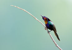 Bird (Copper-throated Sunbird) , Thailand Royalty Free Stock Images