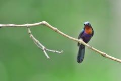 Bird (Copper-throated Sunbird) , Thailand. Bird (Copper-throated Sunbird) in nature , Thailand Stock Photo