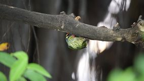 Bird coppersmith barbet in hollow tree trunk. Bird coppersmith barbet, crimson-breasted barbet, coppersmith, megalaima haemacephala yellow color perched in stock footage