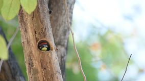 Bird Coppersmith barbet in hollow tree trunk stock video