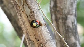 Bird Coppersmith barbet in hollow tree trunk stock footage
