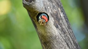 Bird Coppersmith barbet in hollow tree trunk stock video footage