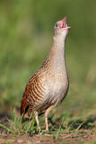 Bird a Corn crake sings on a meadow Stock Images