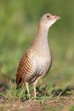 Bird a Corn crake sings on a meadow Stock Photography