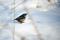Bird corncrake. The corncrake bird in the winter Royalty Free Stock Image