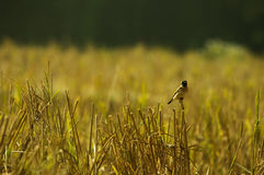 Bird and cornfield. Cornfield at Nan,Thailand Royalty Free Stock Photography