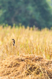 Bird and cornfield. Cornfield at Nan,Thailand Stock Images