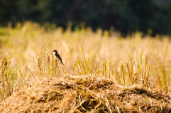 Bird and cornfield. Cornfield at Nan,Thailand Royalty Free Stock Photos