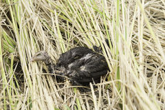 Bird corpse in the nature Royalty Free Stock Photography