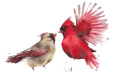 Free Bird Couple Northern Cardinal Male Female Watercolor Painting Illustration Isolated On White Background Royalty Free Stock Photography - 147143997