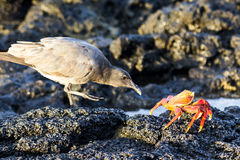 Bird and Crab. Bird stalking it's next meal, a delicious orange crab Royalty Free Stock Photo