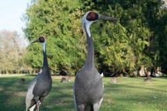 Bird, Crane Like Bird, Crane, Grass Stock Images