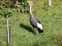 Bird, Crane Like Bird, Fauna, Nature Reserve Royalty Free Stock Image