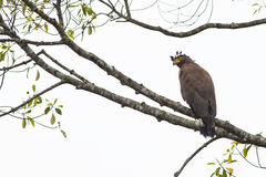 Bird: Crested Serpent-Eagle Royalty Free Stock Images