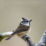 Bird Crested Tit (Parus Cristatus) Stock Photography