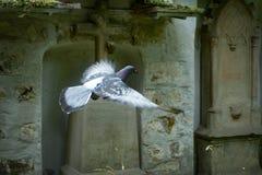 Bird, Cross, Pigeon royalty free stock images