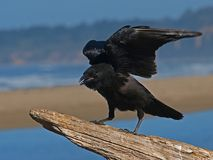 Bird, Crow, Black, Animal, Raven Stock Photo