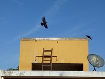 Bird. Crow flying moment close up Royalty Free Stock Photography