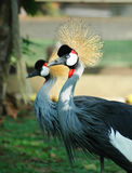 Bird with Crown. Exotic Bird with Crown royalty free stock photo