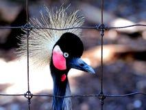 Bird, Crowned crane Stock Photo